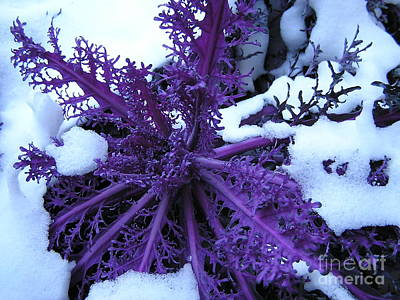Photograph - Purple Foliage In Winter by Christina A Pacillo