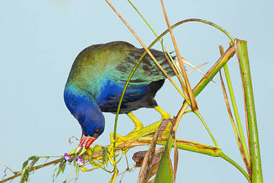 Photograph - Purple Gallinule On Fireflag by Patrick M Lynch