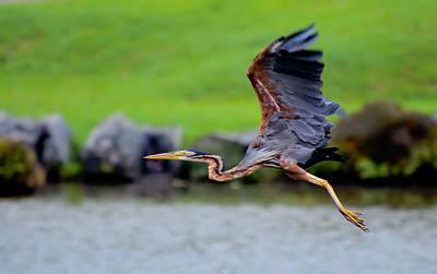 Photograph - Purple Heron In Flight by Chua  ChinLeng