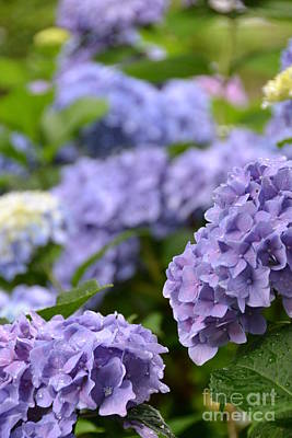 Photograph - Purple Hydrangea by Bonnie Myszka