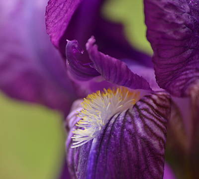 Photograph - Purple Iris 1 by JD Grimes