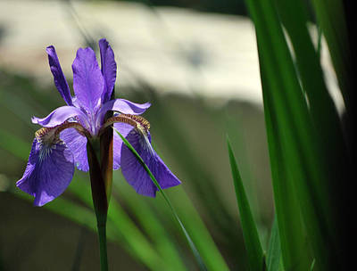 Photograph - Purple Iris by Amee Cave