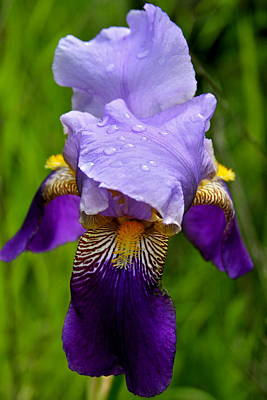 Photograph - Purple Iris by Karon Melillo DeVega