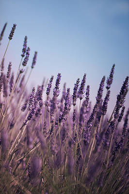Photograph - Purple Lavender Stalks by Ethiriel  Photography