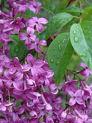 Purple Lilac Art Print by Laurel Best