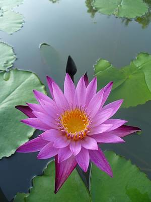 Purple Lotus In A Pond Art Print by Gregory Smith
