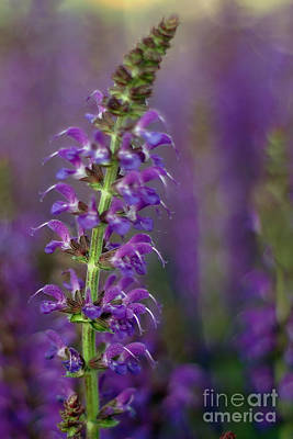 Photograph - Purple Lupine by Joann Vitali
