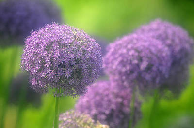 Photograph - Purple Onion by Douglas Pike