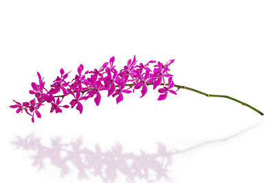 Purple Orchid Bunch Isolated Original by Atiketta Sangasaeng