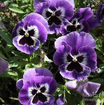Photograph - Purple Pansies Square by Carol Groenen