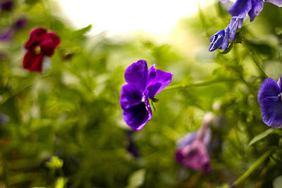 Photograph - Purple Pansy by Benjamin Clark