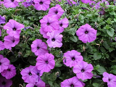 Photograph - Purple Petunias by RobLew Photography