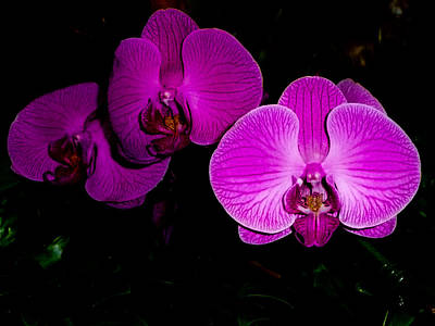 Photograph - Purple Phalaenopsis Orchids by Chua  ChinLeng