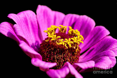 Photograph - Purple Pink Cosmos by Alexandra Jordankova