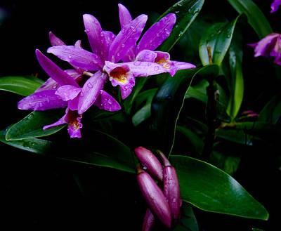 Photograph - Purple Pleione Orchids by Chua  ChinLeng