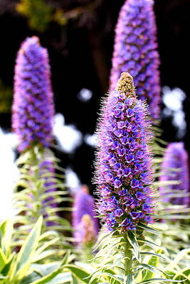 Purple Pride Of Madeira Flowers . 7d14801 Art Print