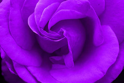 Photograph - Purple Rose by Robyn Stacey