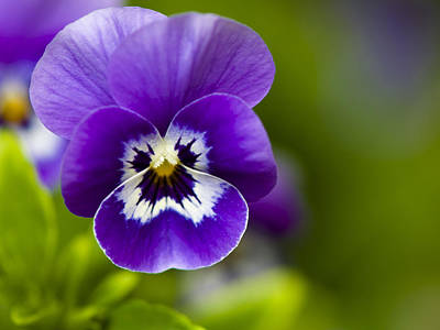 Photograph - Purple Snowdust by Rob Hemphill