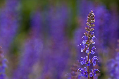 Art Print featuring the photograph Purple Spires by Trevor Chriss