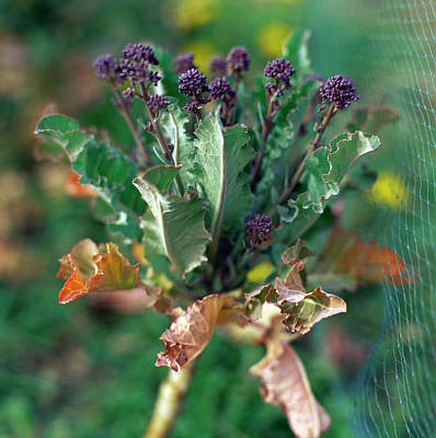 Purple Sprouting Broccoli Art Print by David Munns