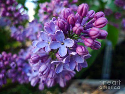 Art Print featuring the photograph Purple Star by Thanh Tran