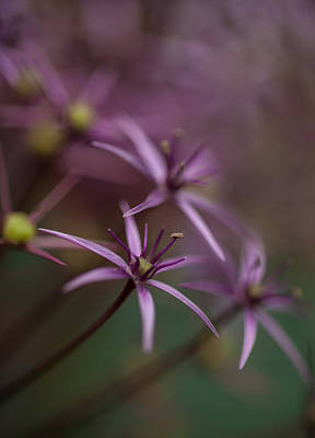 Stamen Photograph - Purple Stars by Mike Reid