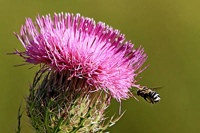 Photograph - Purple Thistle Visited By A Bee by Ira Runyan