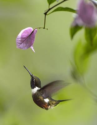Purple Throated Woodstar Hummingbird Print by Tim Fitzharris