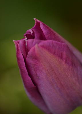 Photograph - Purple Tulip by JD Grimes