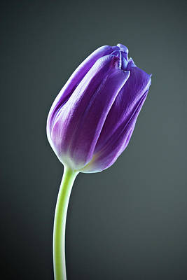 Purple Tulip Art Print by Nick  Shirghio
