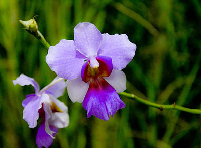 Photograph - Purple Vanda Orchid by Chua  ChinLeng