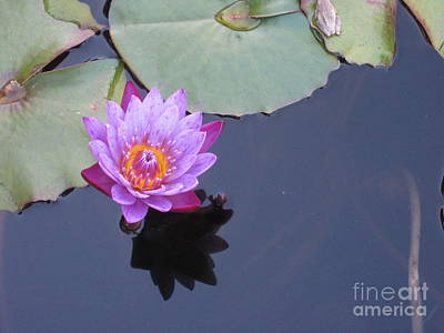 Wall Art - Photograph - Purple Water Lily by Judith Hochroth