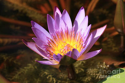 Photograph - Purple Water Lily by Terri Mills