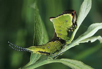 Puss Caterpillar Photograph - Puss Moth Caterpillar by David Aubrey