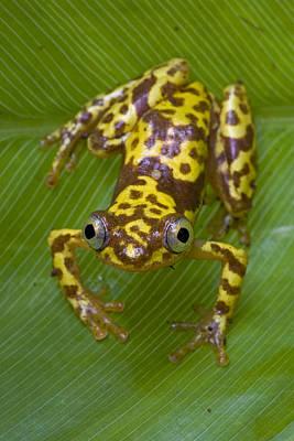 Mar2613 Photograph - Pygmy Leaffolding Frog Ghana by Piotr Naskrecki