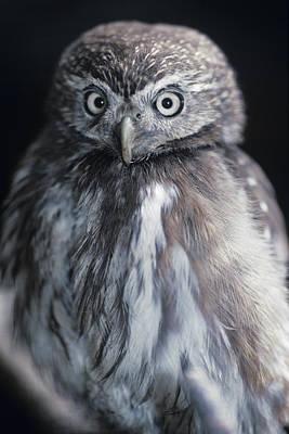 Pygmy Owl Wall Art - Photograph - Pygmy Owl by David Aubrey