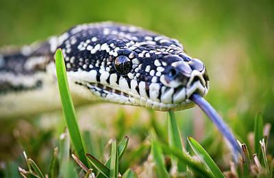 Python Wall Art - Photograph - Python On Grass by Alastair Pollock Photography