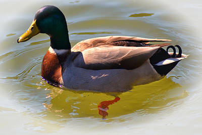Photograph - Quackers by Kelly Reber