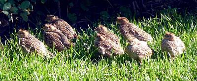 Photograph - Quail Chicks by Will Borden