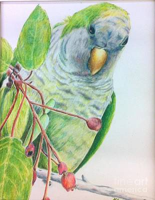 Quaker Parrot Painting - Quaker by Norma Gafford