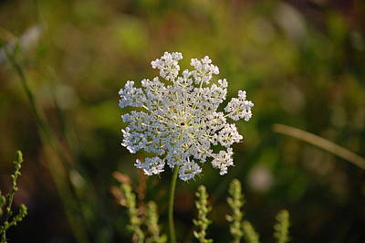 Photograph - Queen Anne's Lace IIi by Mary McAvoy