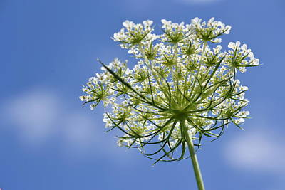 Photograph - Queen-anne's-lace by JD Grimes
