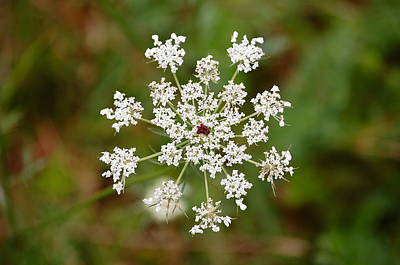 Art Print featuring the photograph Queen Anne's Lace by Mary McAvoy