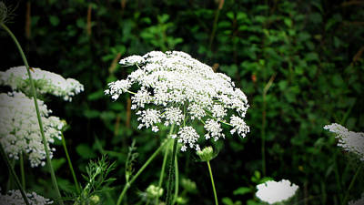 Photograph - Queen Anne's Lace by Ms Judi