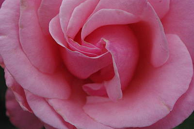 Photograph - Queen Elizabeth Pink Rose by Robyn Stacey