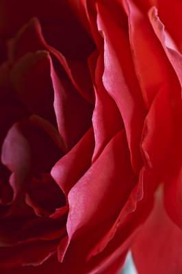 Photograph - Queen Elizabeth Rose by Rick Hartigan