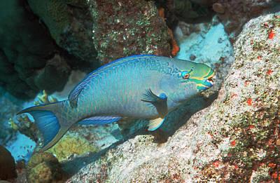 Sex Change Photograph - Queen Parrotfish by Georgette Douwma