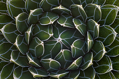 Photograph - Queen Victorias Agave Agave by Ingo Arndt