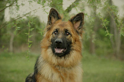 Photograph - Queena - German Shepherd by Sandy Keeton