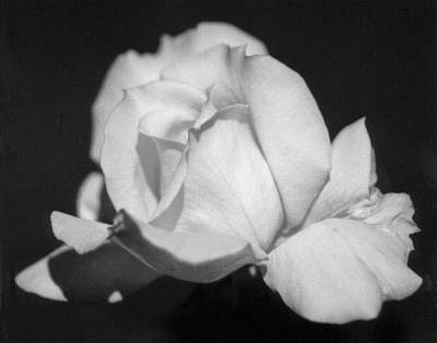 Photograph - Queenly Rose by Emery Graham